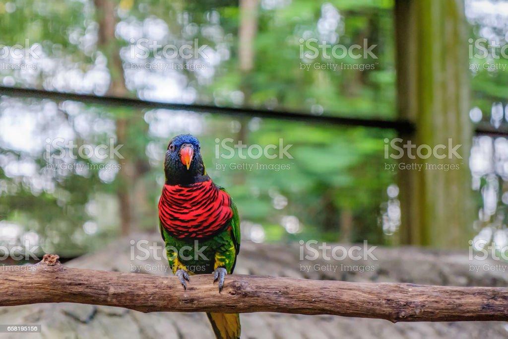 Rainbow Lorikeet in roost stock photo