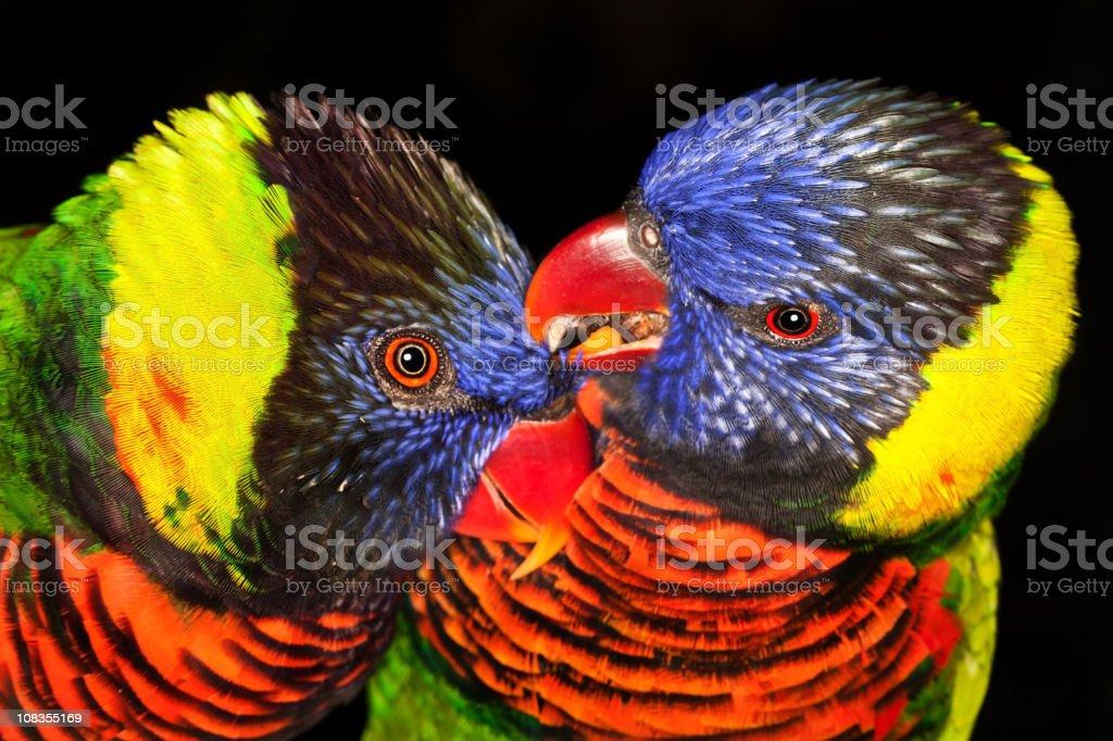 Rainbow lorikeet lovebirds stock photo