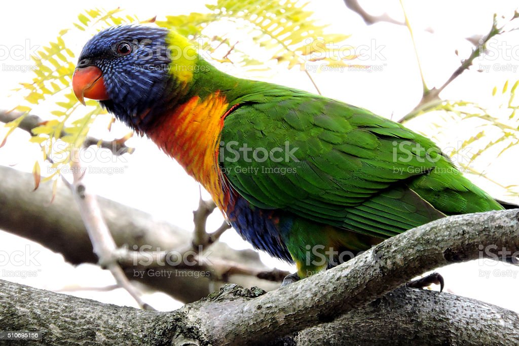 Rainbow Lorikeet on a tree branch stock photo