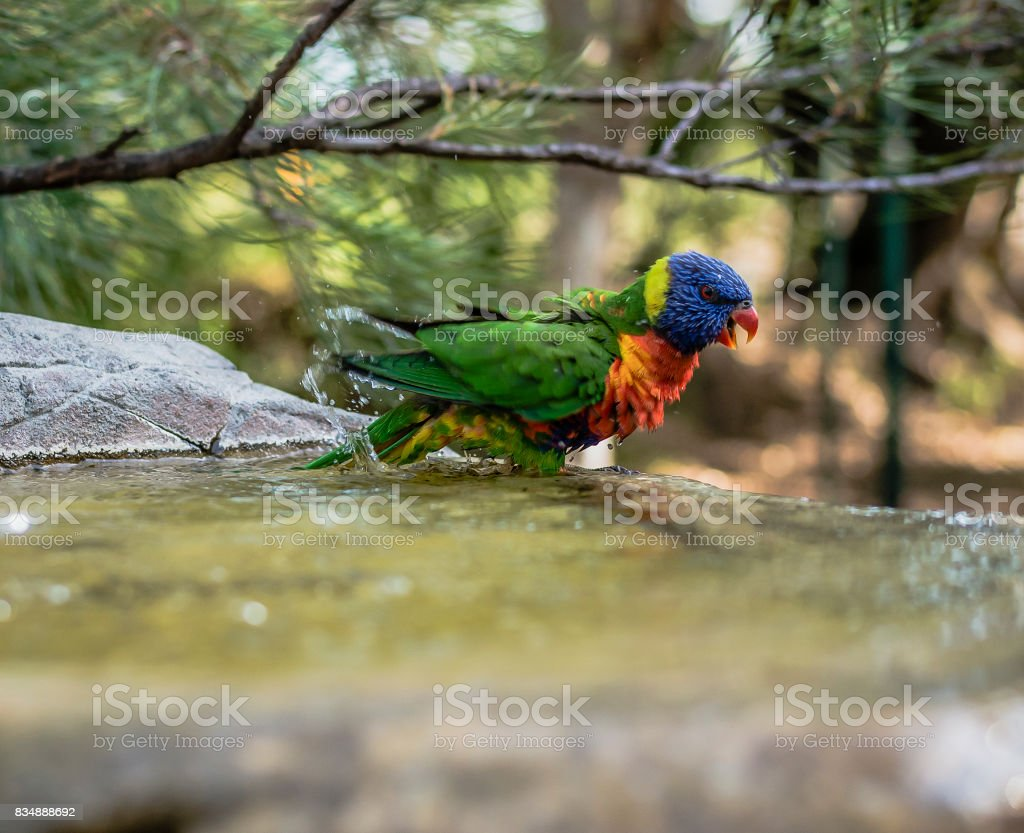 Rainbow lorikeet outside during the day. stock photo