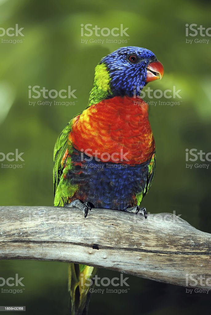 Rainbow lorikeet, perched on a branch royalty-free stock photo