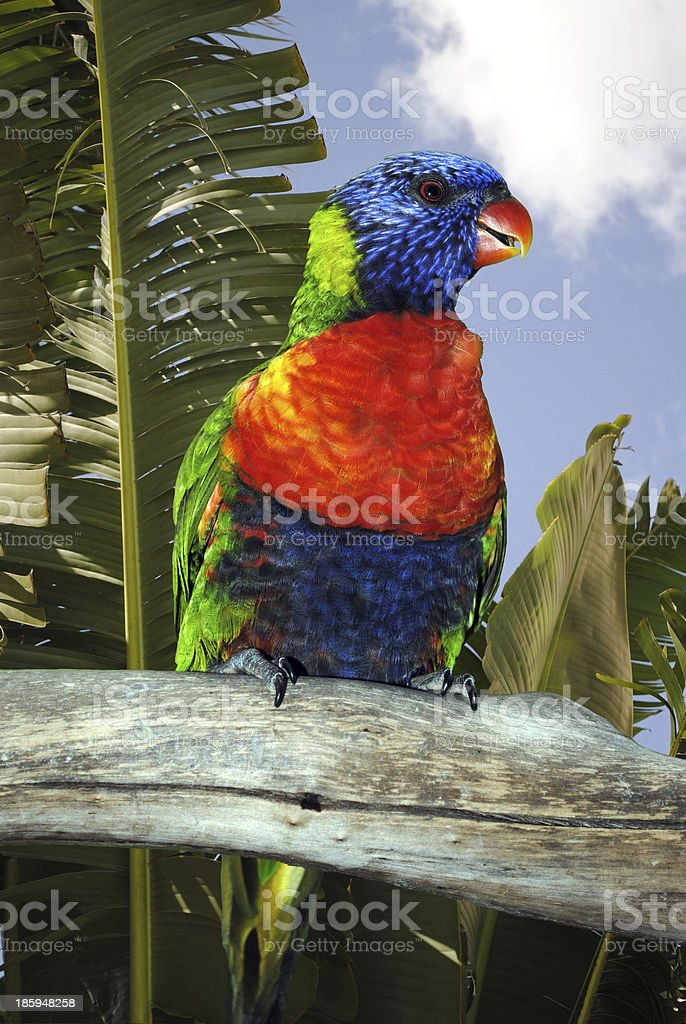 Rainbow lorikeet perched on a branch royalty-free stock photo