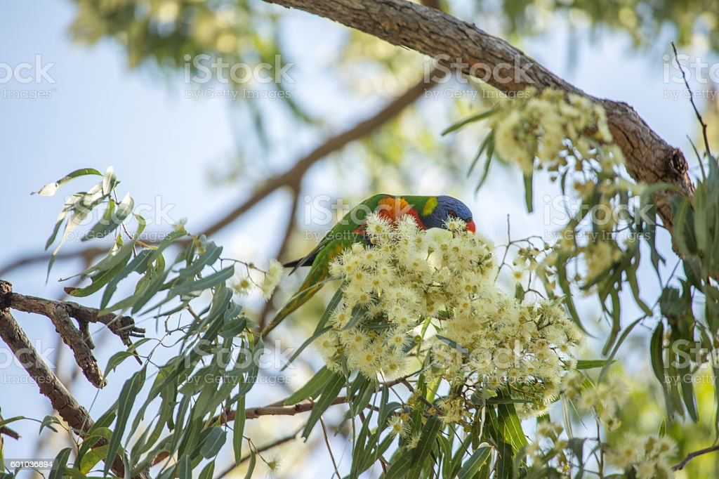 Rainbow lorikeet perched on a branch, Queensland-Australia stock photo