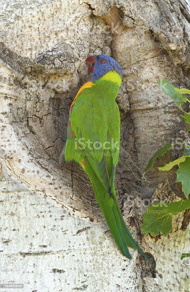 Rainbow Lorikeet (Trichoglossus Haematodus) royalty-free stock photo