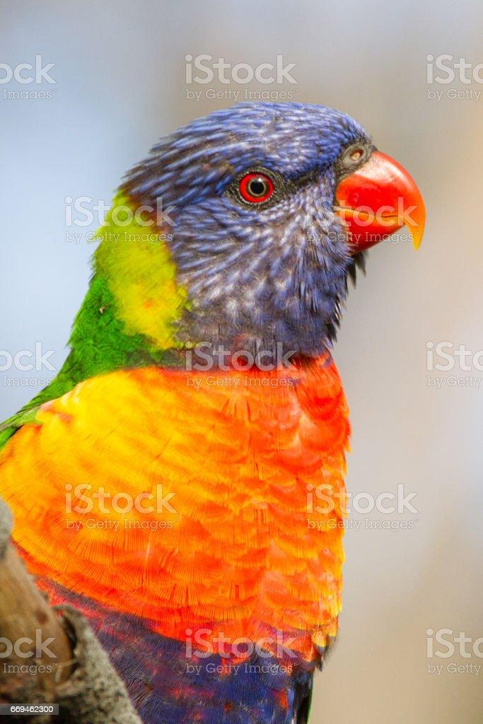 Rainbow Lorikeet Profile stock photo