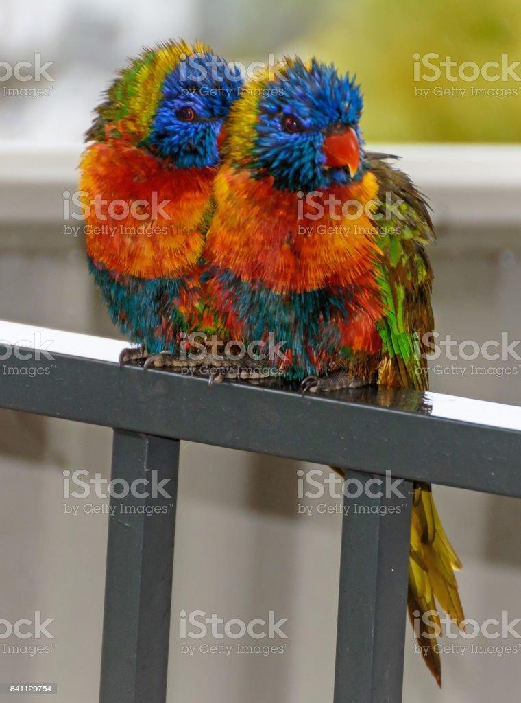 Rainbow Lorikeet seeking shelter from the rain stock photo