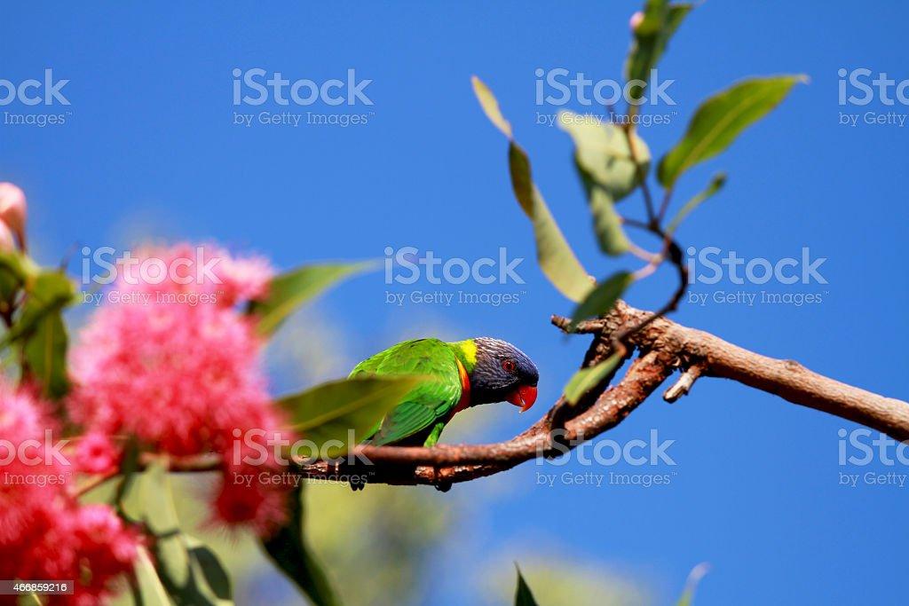 Rainbow lorikeet standing on Eucalyptus blossoms branch stock photo
