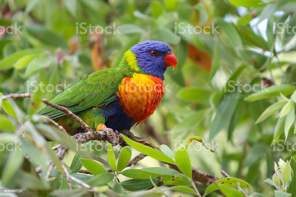 Rainbow Lorikeet, Trichoglossus haematodus stock photo