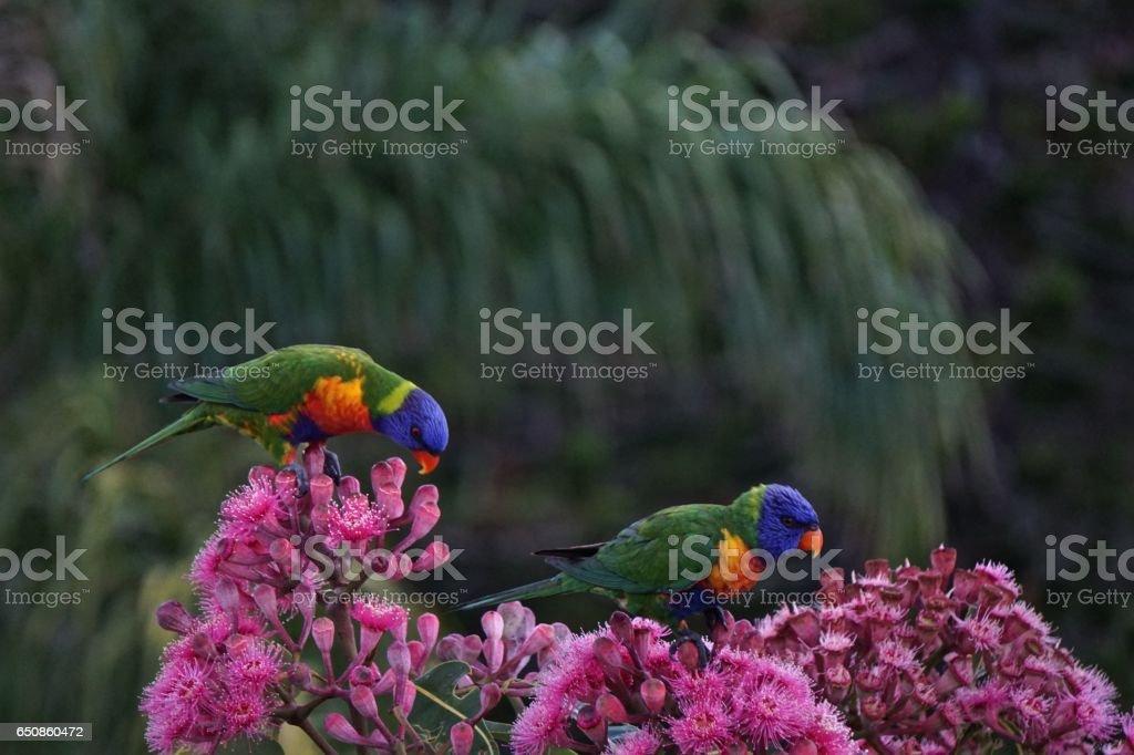 Rainbow Lorikeets feeding stock photo