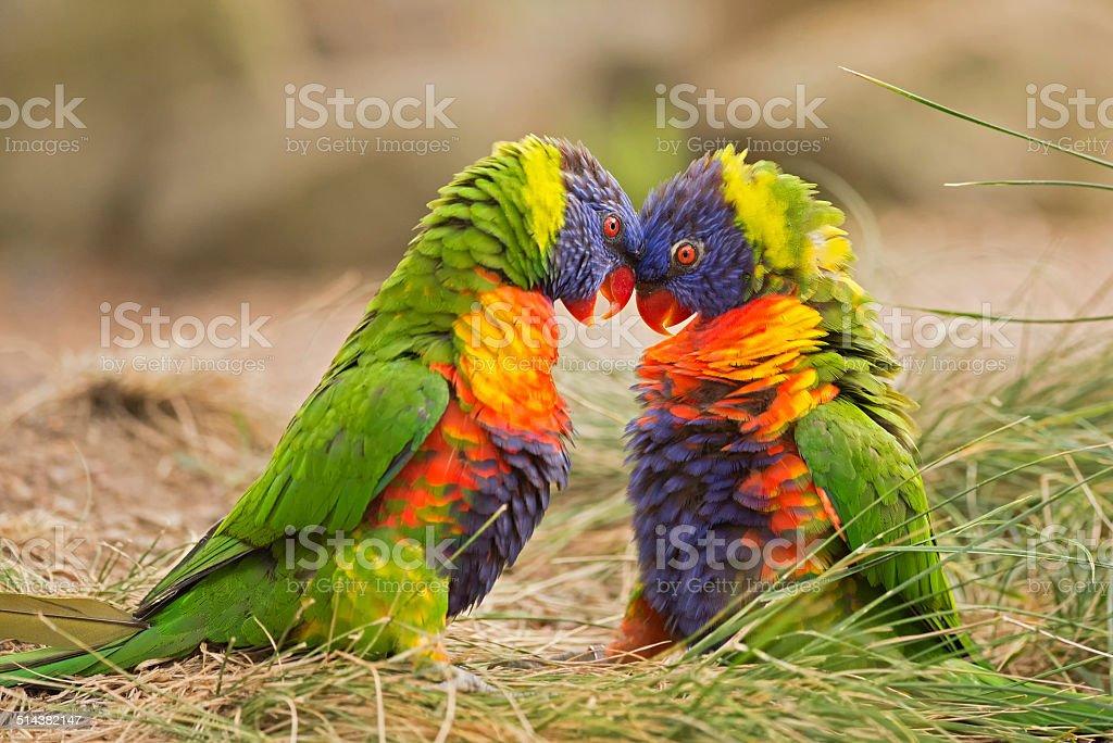 Rainbow lorikeets (Trichoglossus haematodus) fighting stock photo
