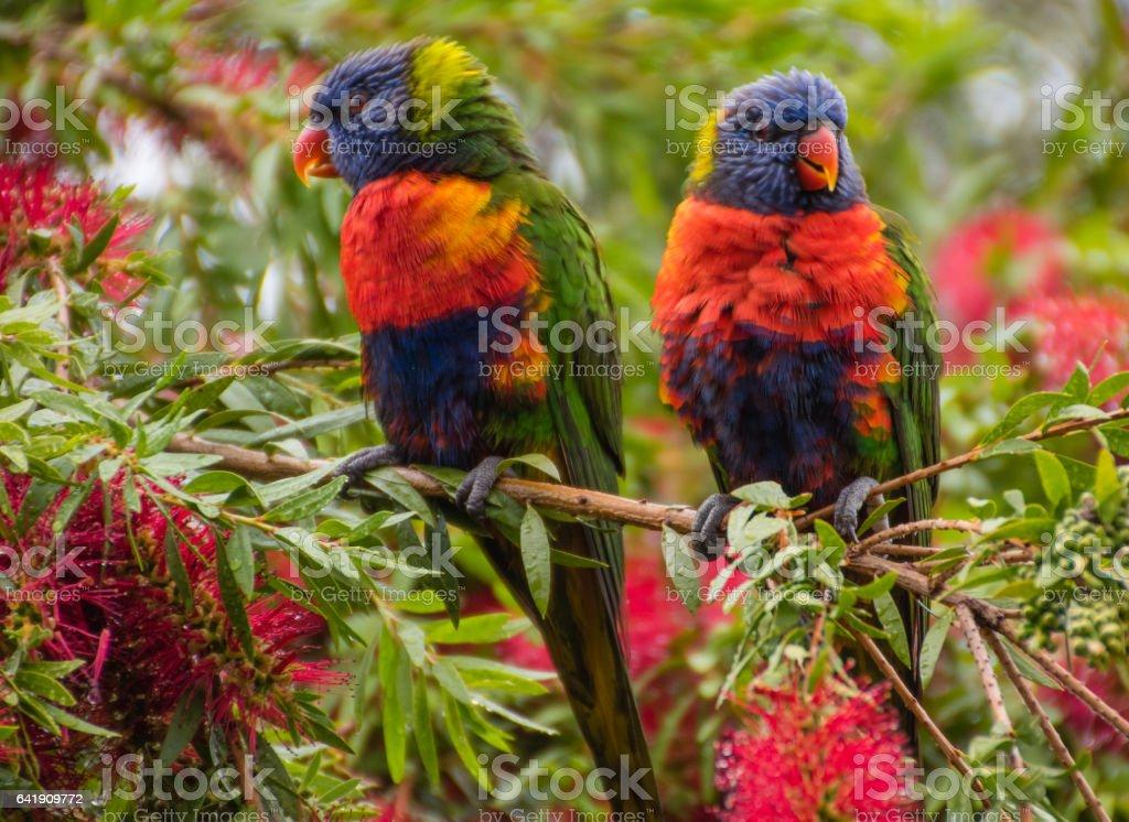 Rainbow Lorikeets in the bottlebrush stock photo
