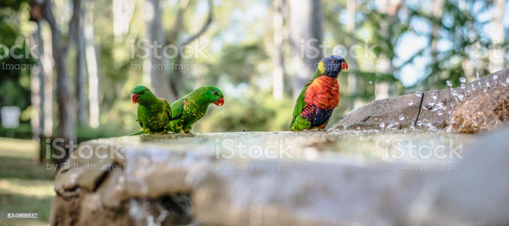 Rainbow lorikeets outside during the day. stock photo