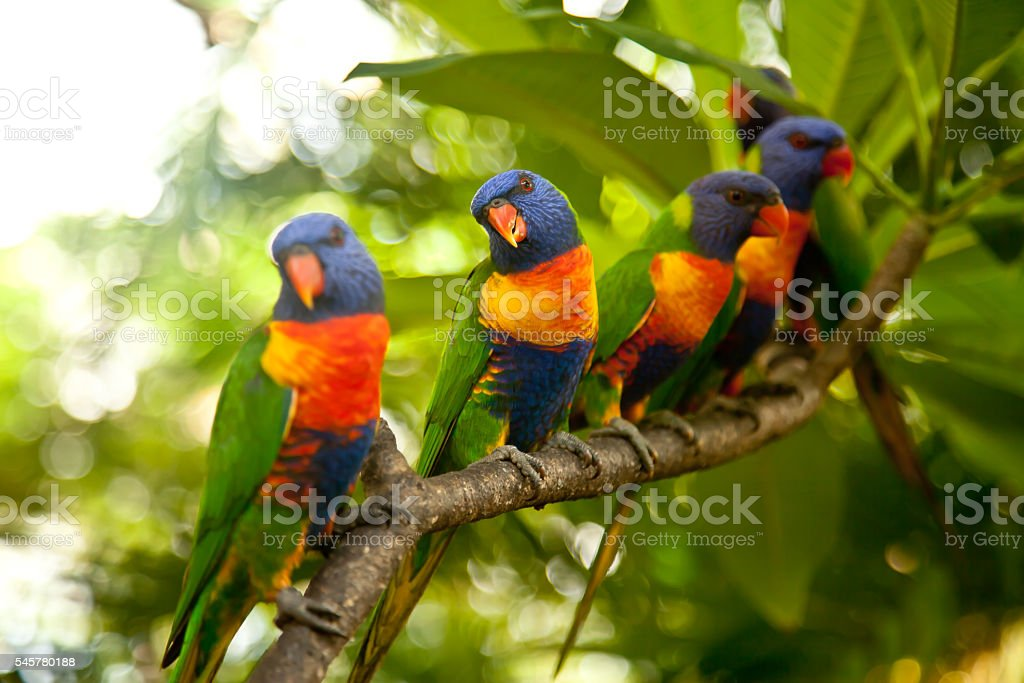 Rainbow Lorikeets perched on a branch stock photo