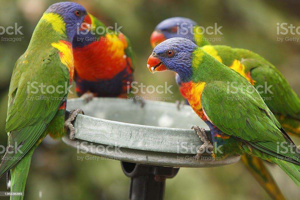Rainbow Lorikeets royalty-free stock photo