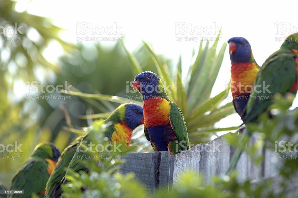 Rainbow Lorikeets stock photo