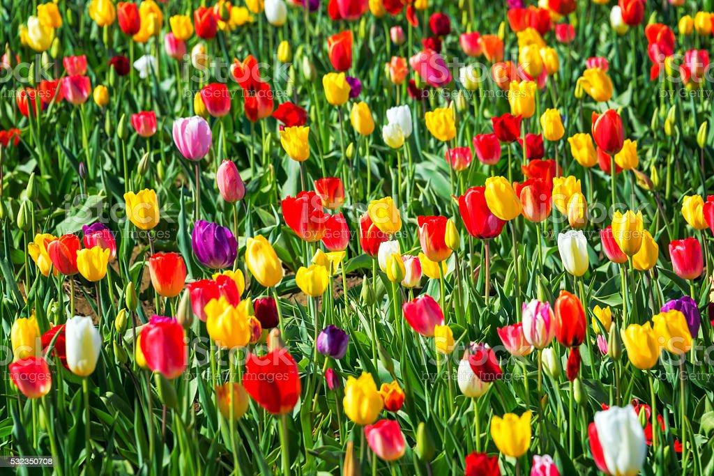 Rainbow of Tulips stock photo