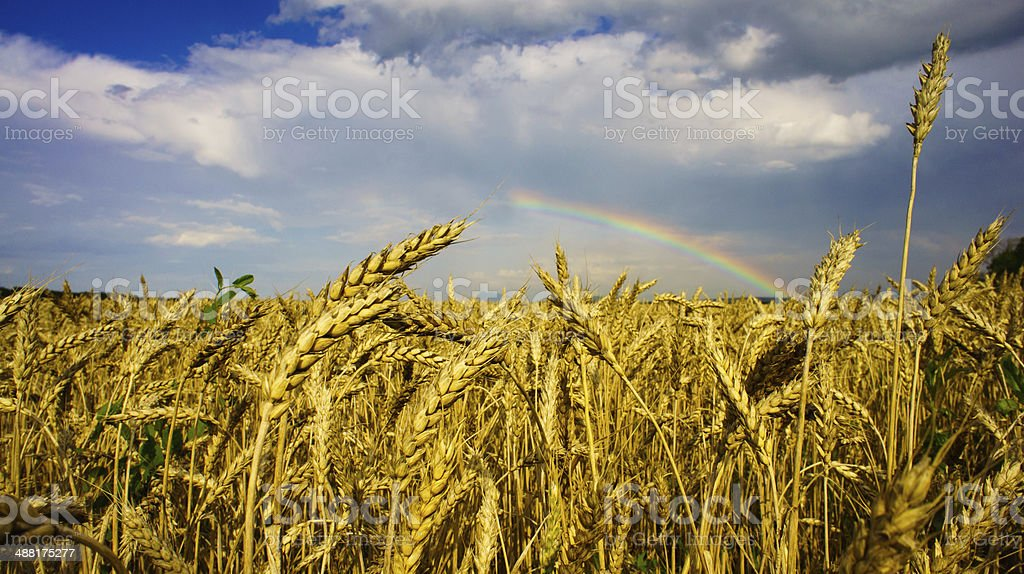 Rainbow over field of golden wheat royalty-free stock photo