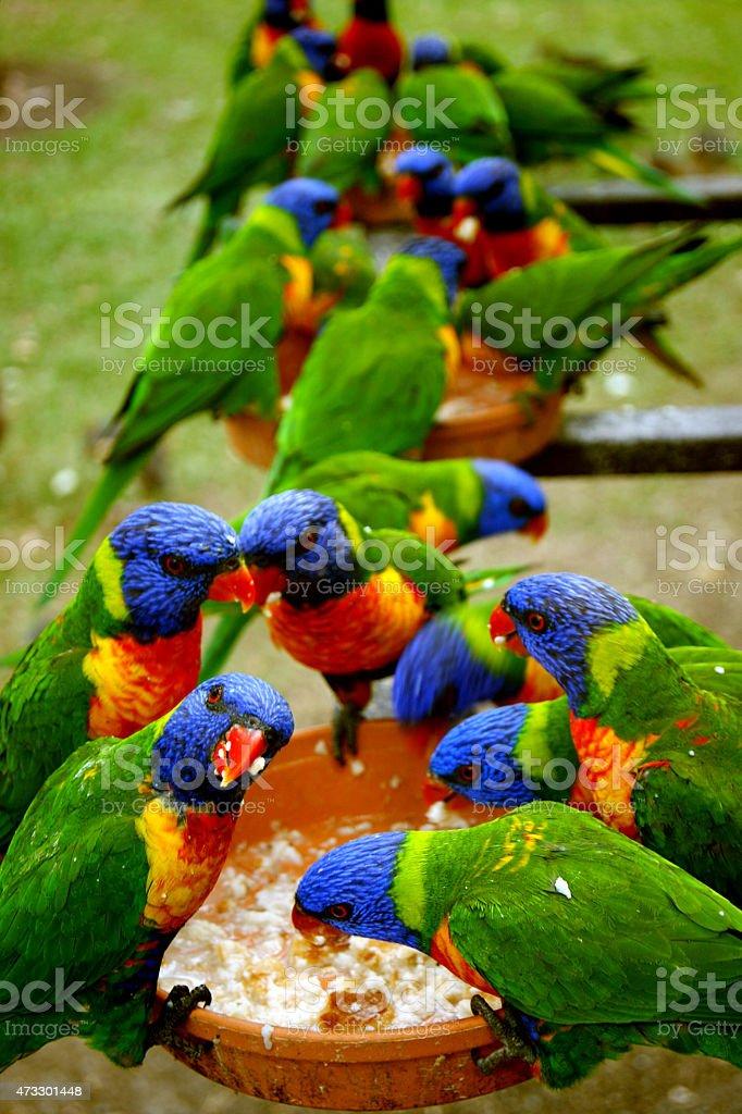 Rainbow parrots stock photo