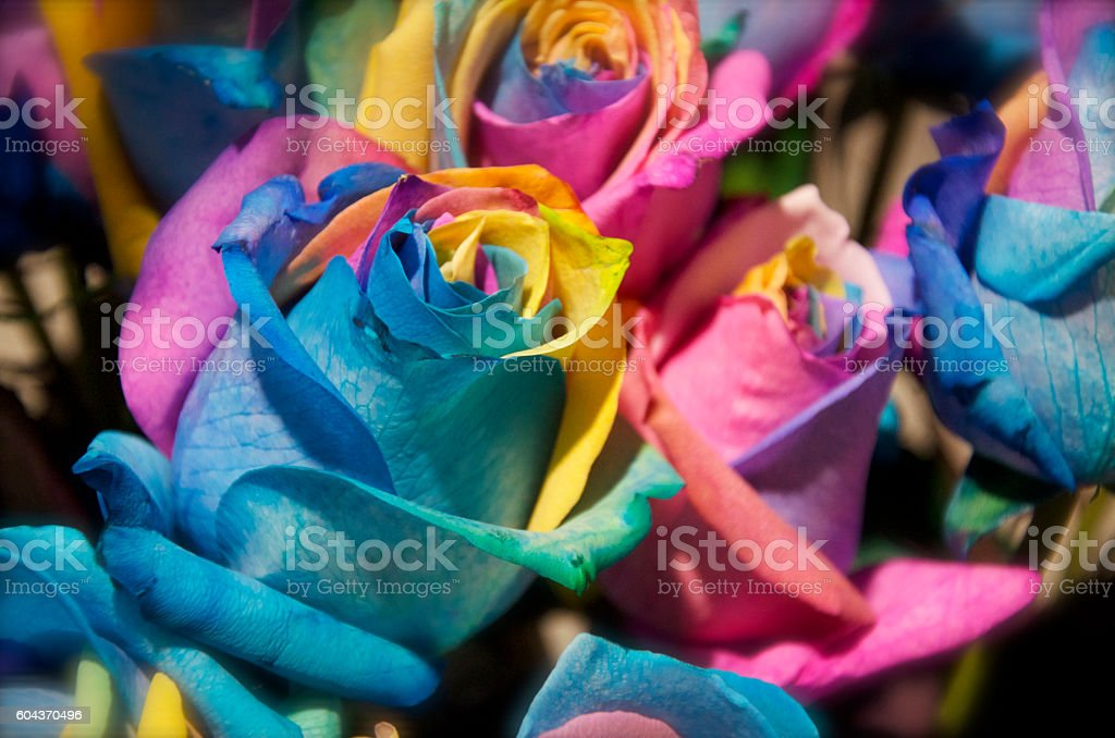 Rainbow Rose Flowers stock photo