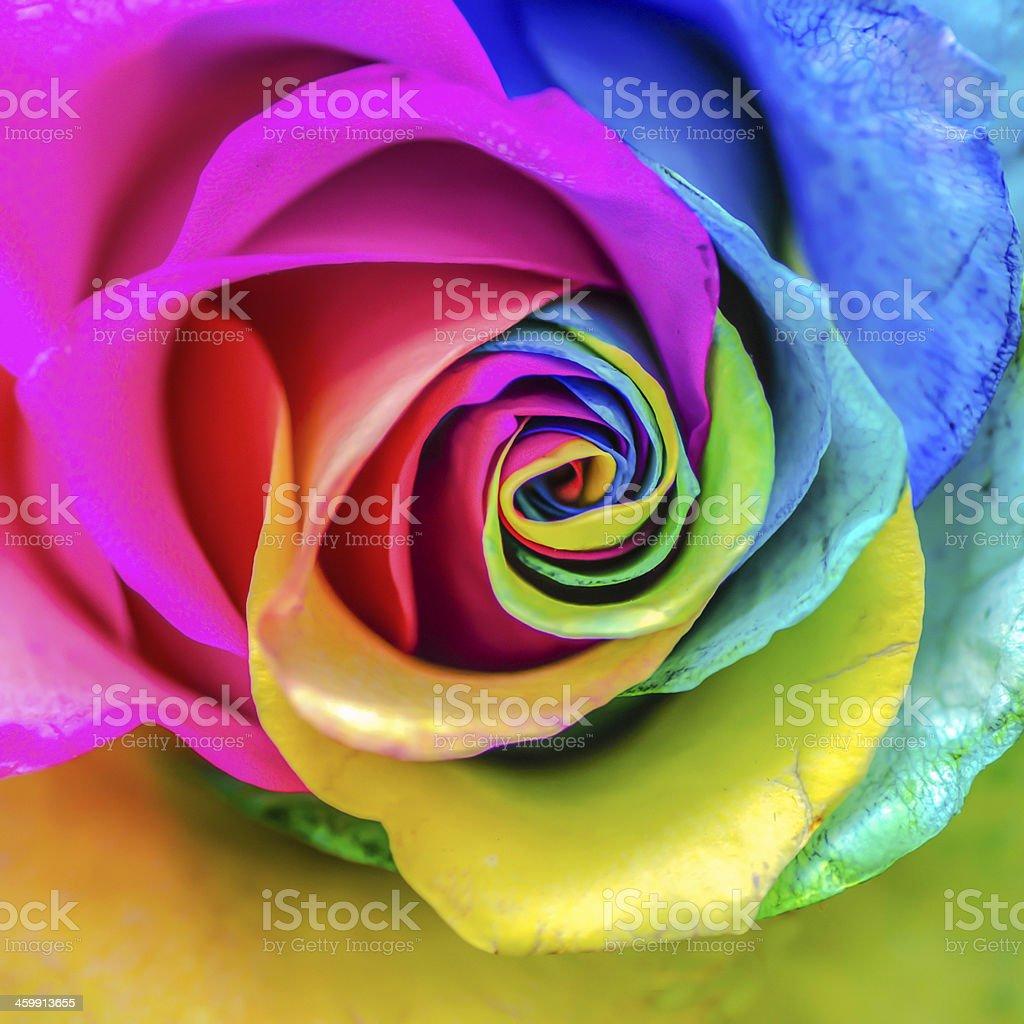 Rainbow Rose stock photo