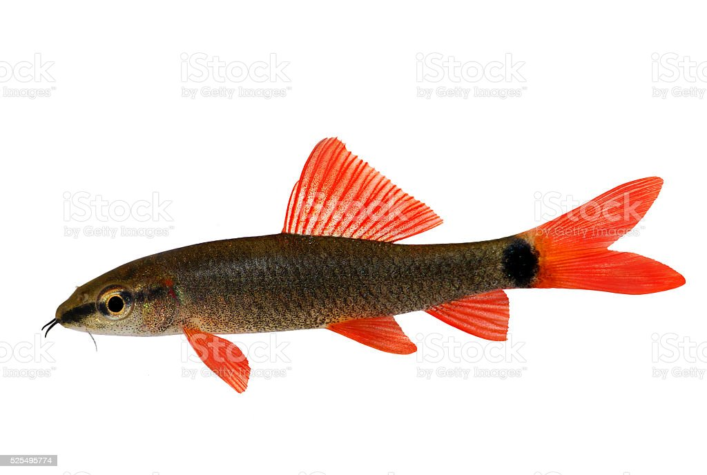 Rainbow shark catfish Epalzeorhynchos frenatum aquarium fish isolated on white stock photo