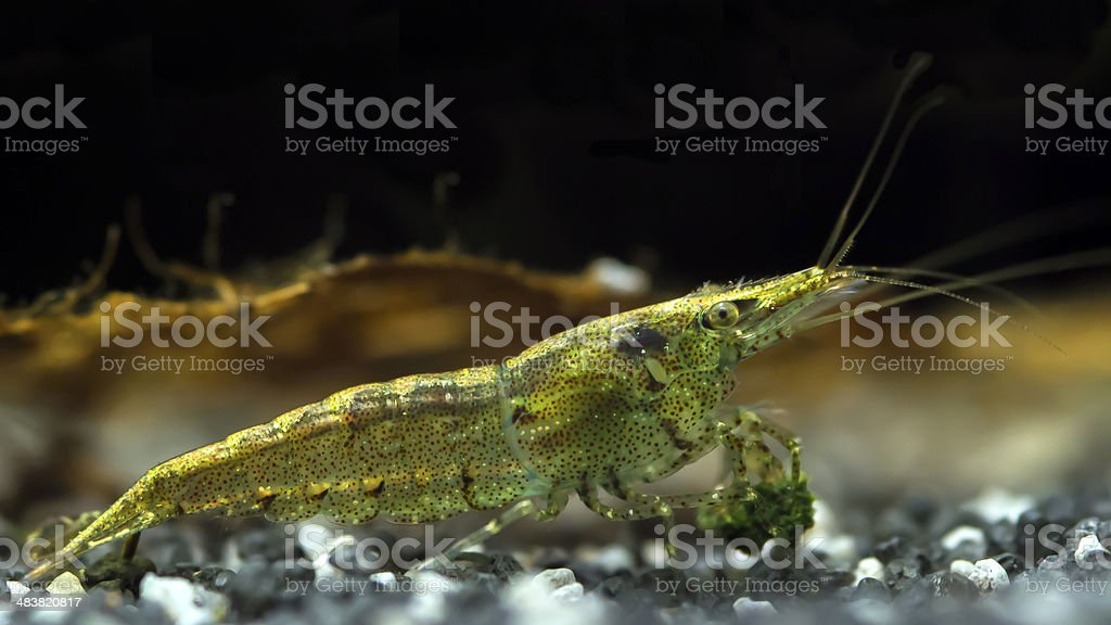 Rainbow Shrimp stock photo