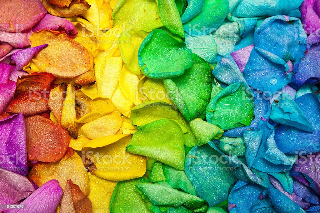 Rainbow Spectrum Of Wet Dyed Rose Petals royalty-free stock photo