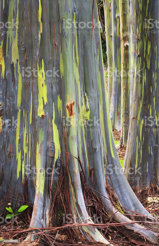 Rainbow Tree Trunks royalty-free stock photo