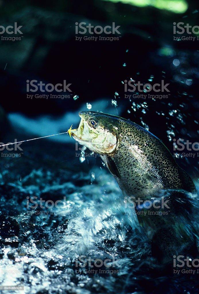 Rainbow Trout 607 stock photo