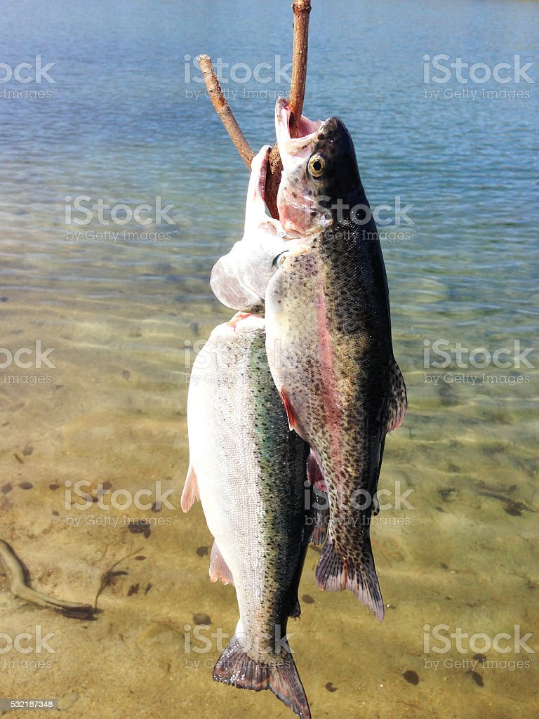 Rainbow Trout - Catch of the Day stock photo