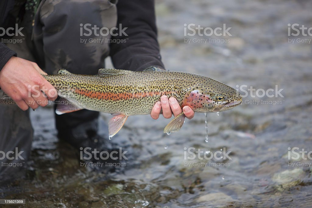 Rainbow Trout Caught Fly Fishing in Alaska stock photo