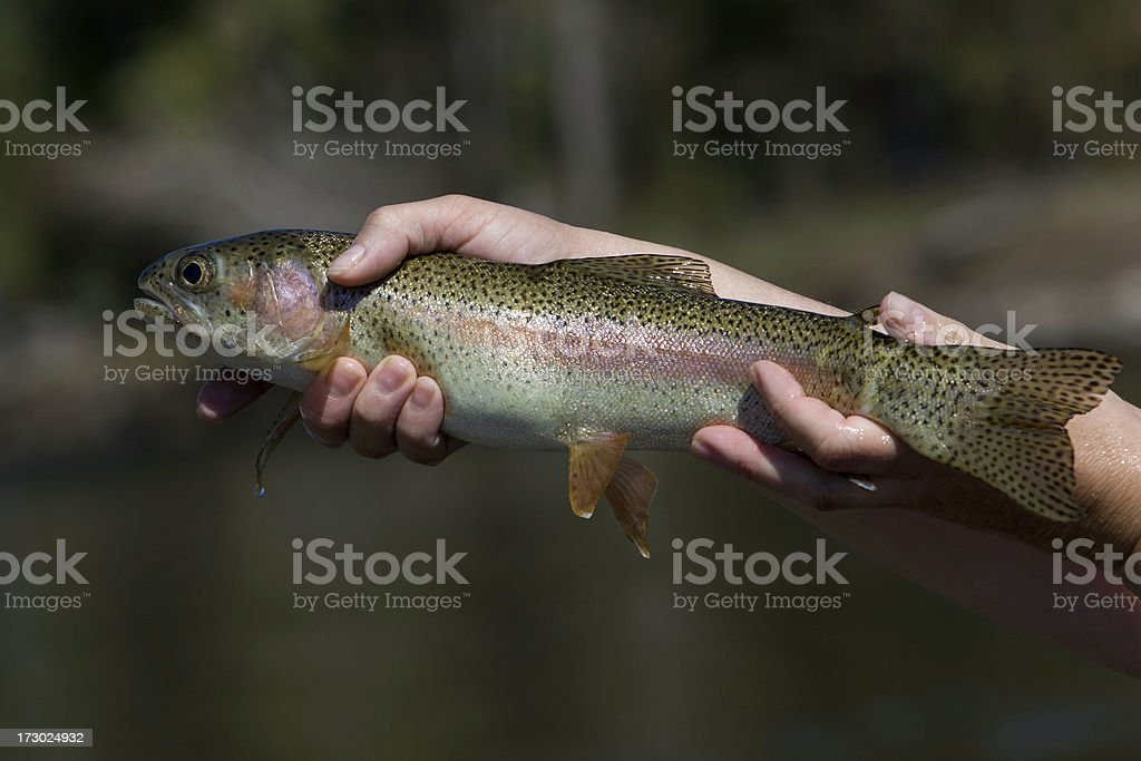 Rainbow Trout - Caught Fly Fishing in Montana royalty-free stock photo