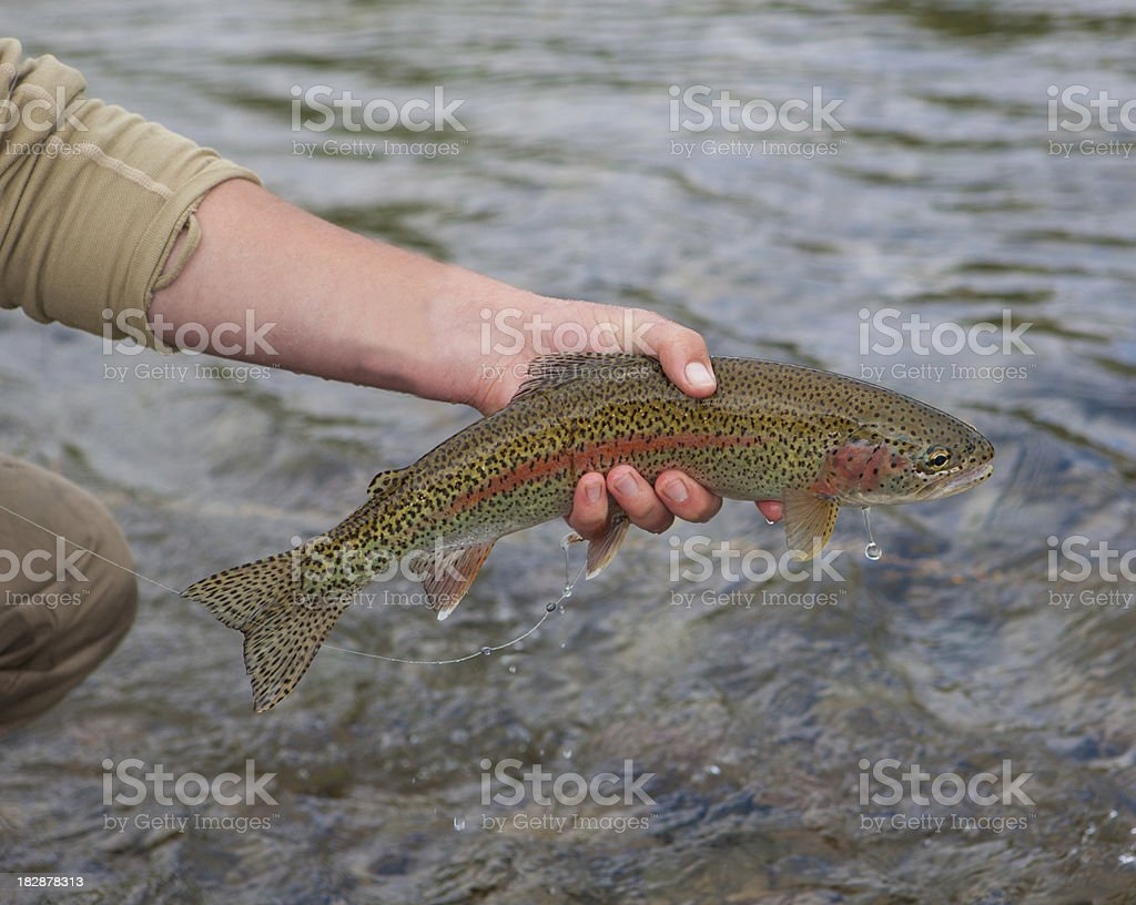 Rainbow Trout Caught Fly-fishing in Alaska royalty-free stock photo