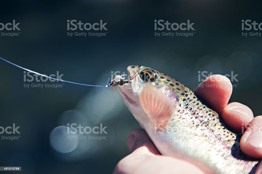 rainbow trout caught from fresh mountain stream stock photo