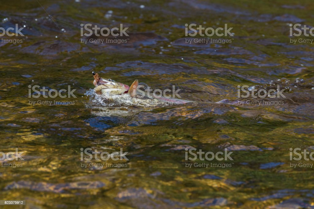 Rainbow Trout - Close up of a freshly caught fish in the water stock photo