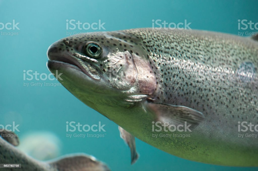 Rainbow trout  close-up  under water stock photo