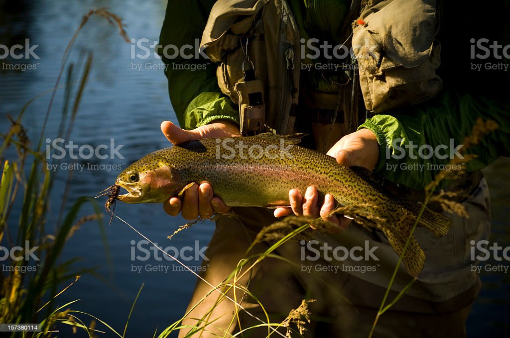 Rainbow trout Fly-fishing in Colorado royalty-free stock photo