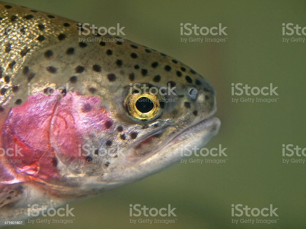 Rainbow Trout head swimming Oncorhynchus mykiss Close-up royalty-free stock photo