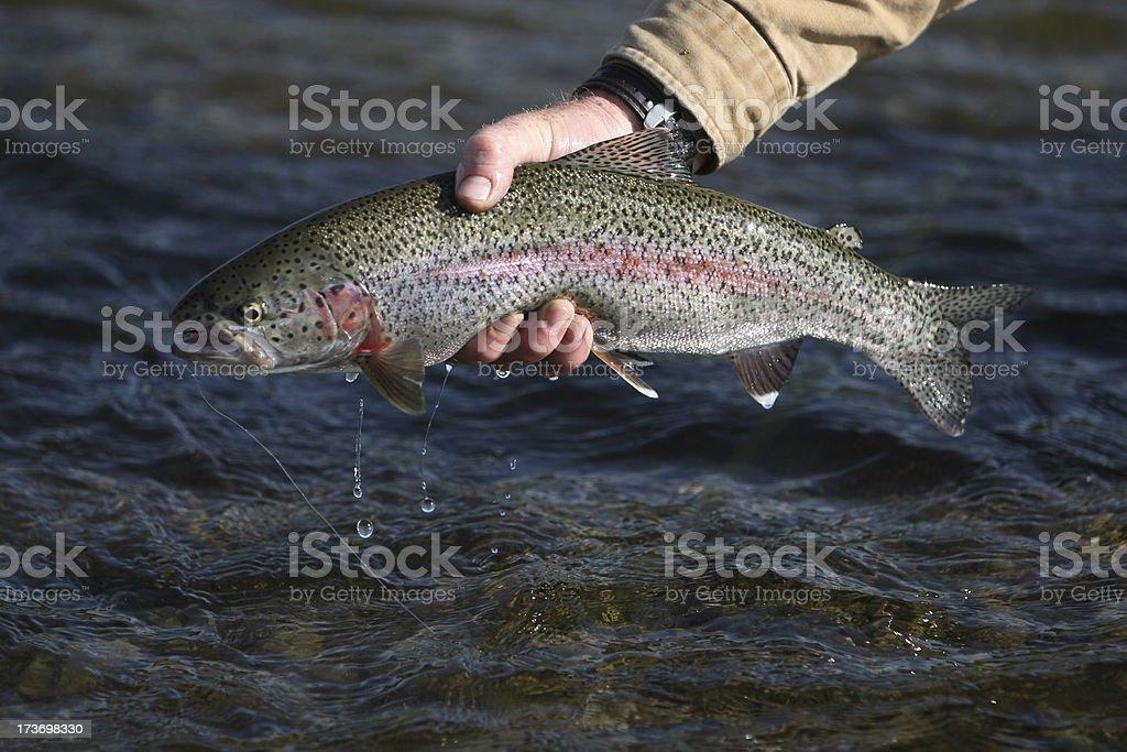 Rainbow Trout in Alaska - Fly Fishing royalty-free stock photo