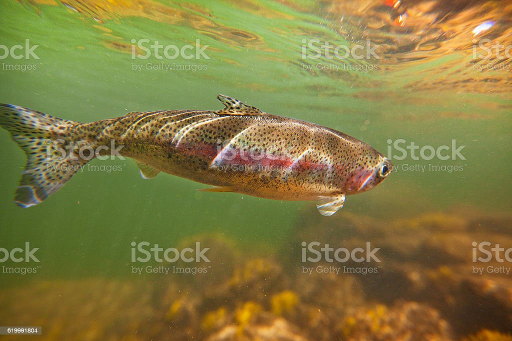 Rainbow Trout in Salmon River Idaho stock photo