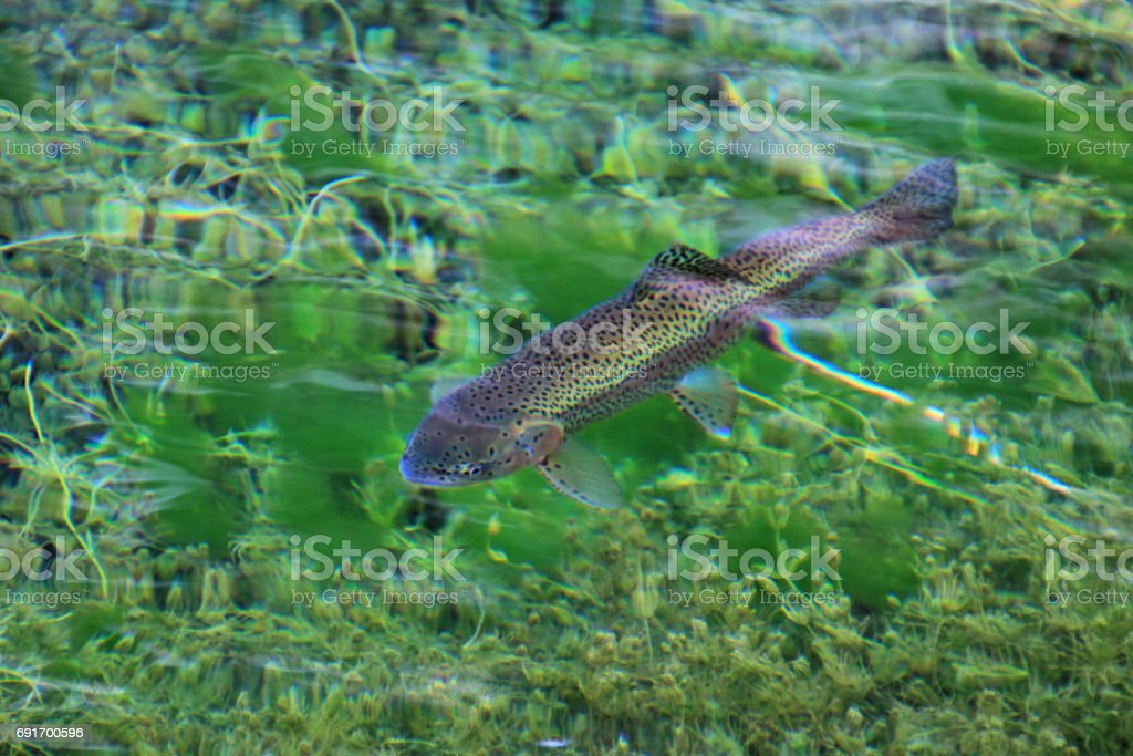Rainbow trout in the water of the clear lake Laguna Nina Encantada, Argentina, not an underwater photo stock photo