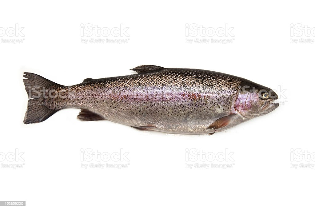 Rainbow trout isolated on a white studio background royalty-free stock photo
