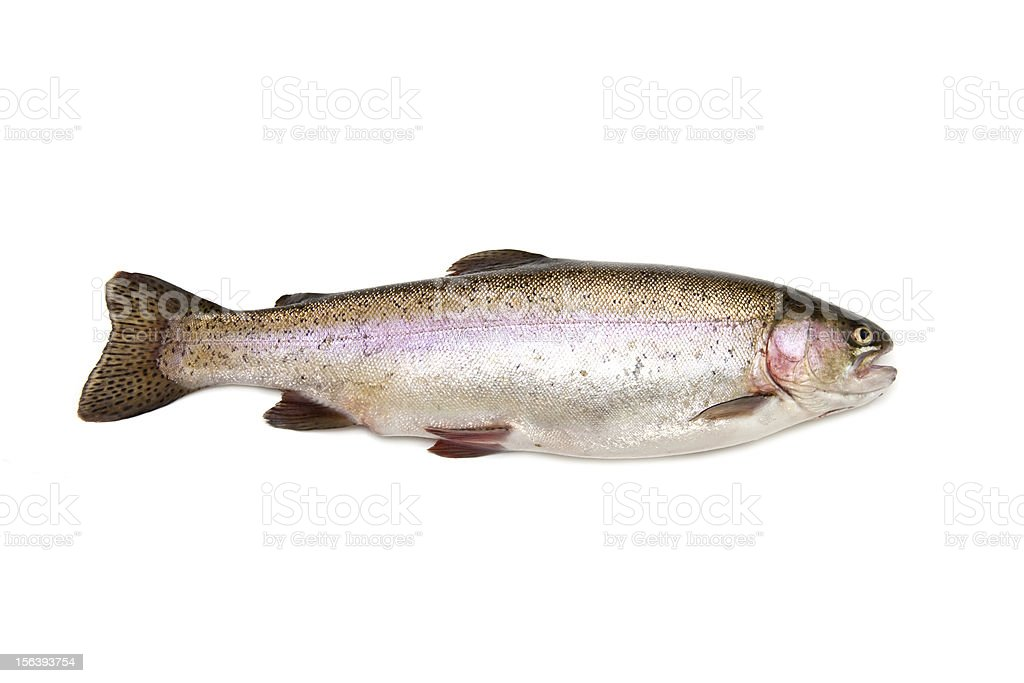 Rainbow trout on a white background. stock photo