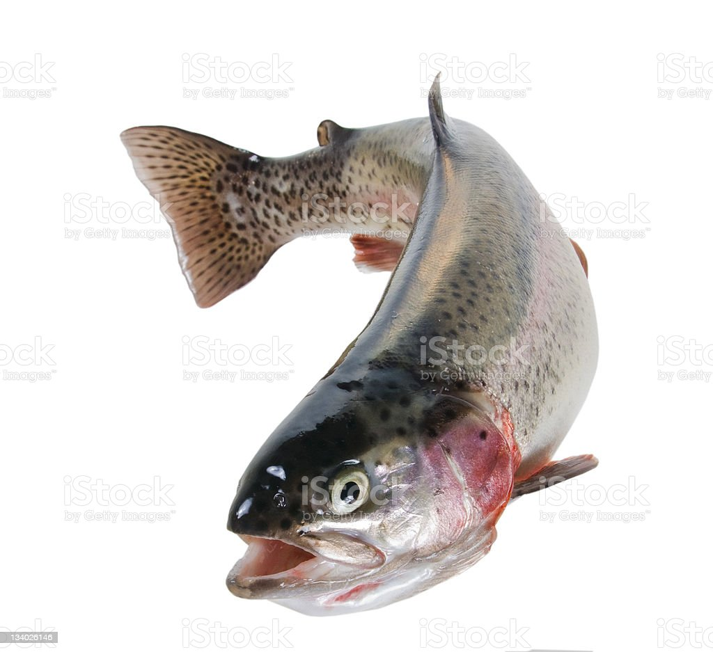 Rainbow trout on white background stock photo