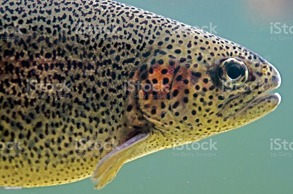 rainbow trout  Oncorhynchus mykiss stock photo