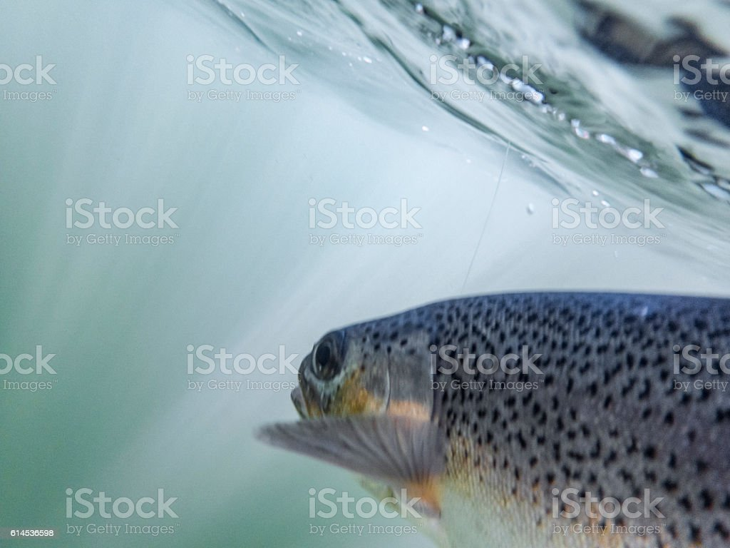 Rainbow Trout Oncorhynchus mykiss Underwater Hooked Soft Focus and Colors stock photo