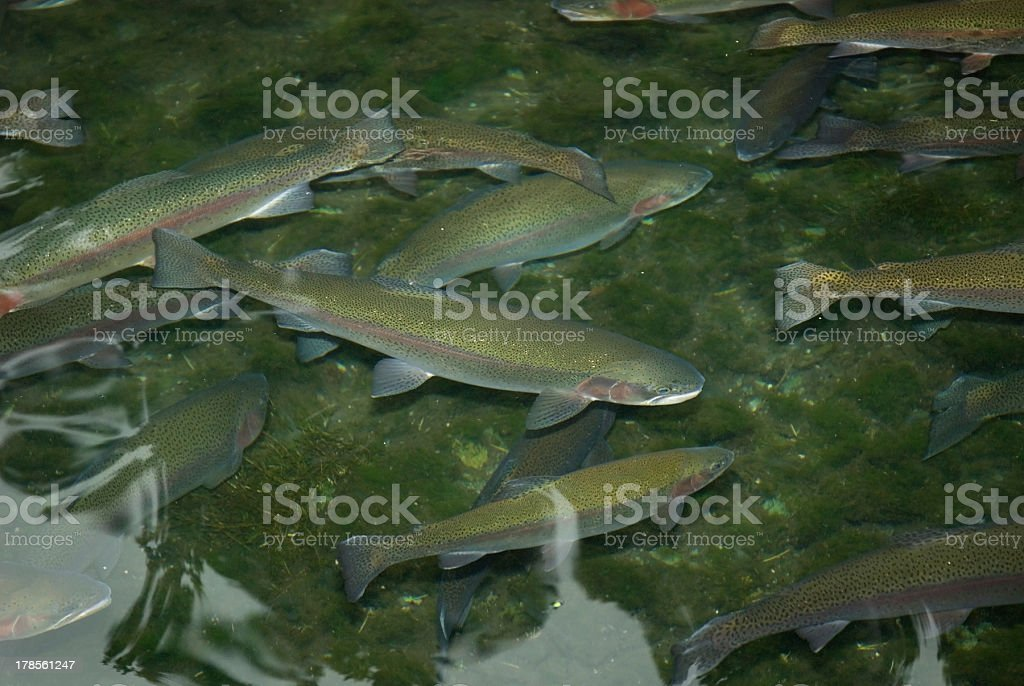 Rainbow Trout ( Oncorhynchus mykiss ) royalty-free stock photo