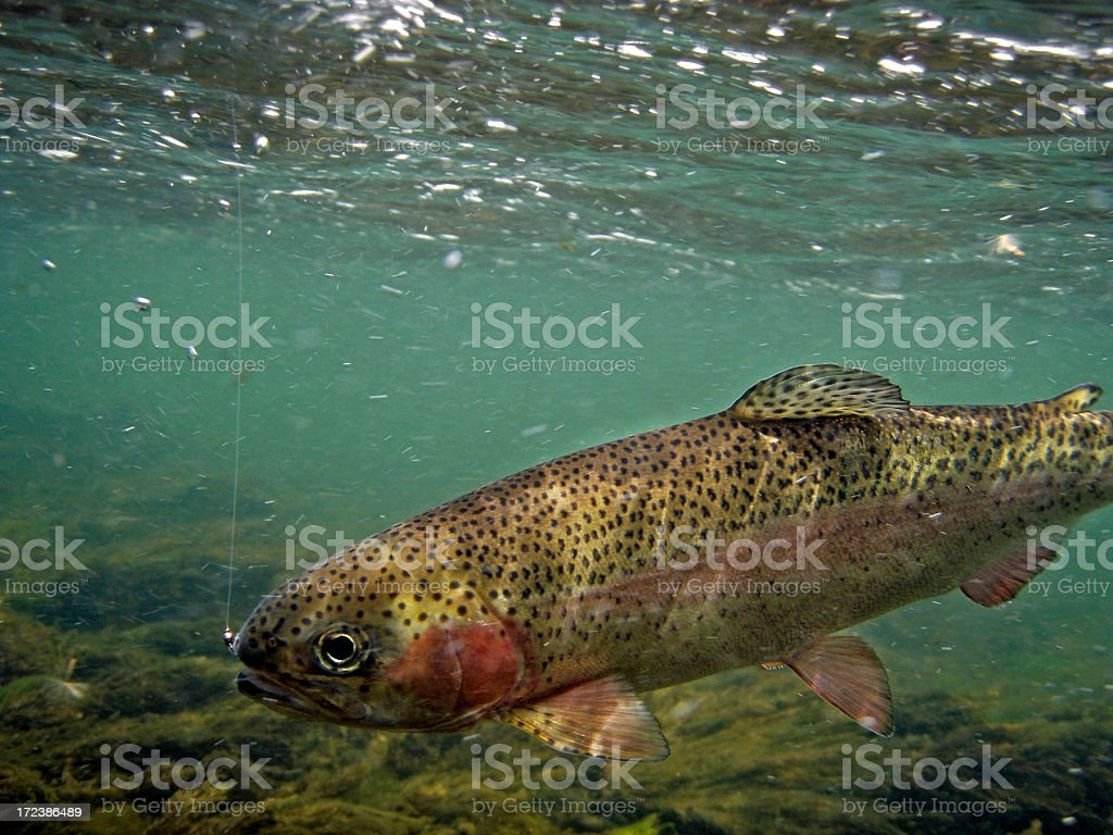 Rainbow Trout Underwater - Oncorhynchus mykiss stock photo