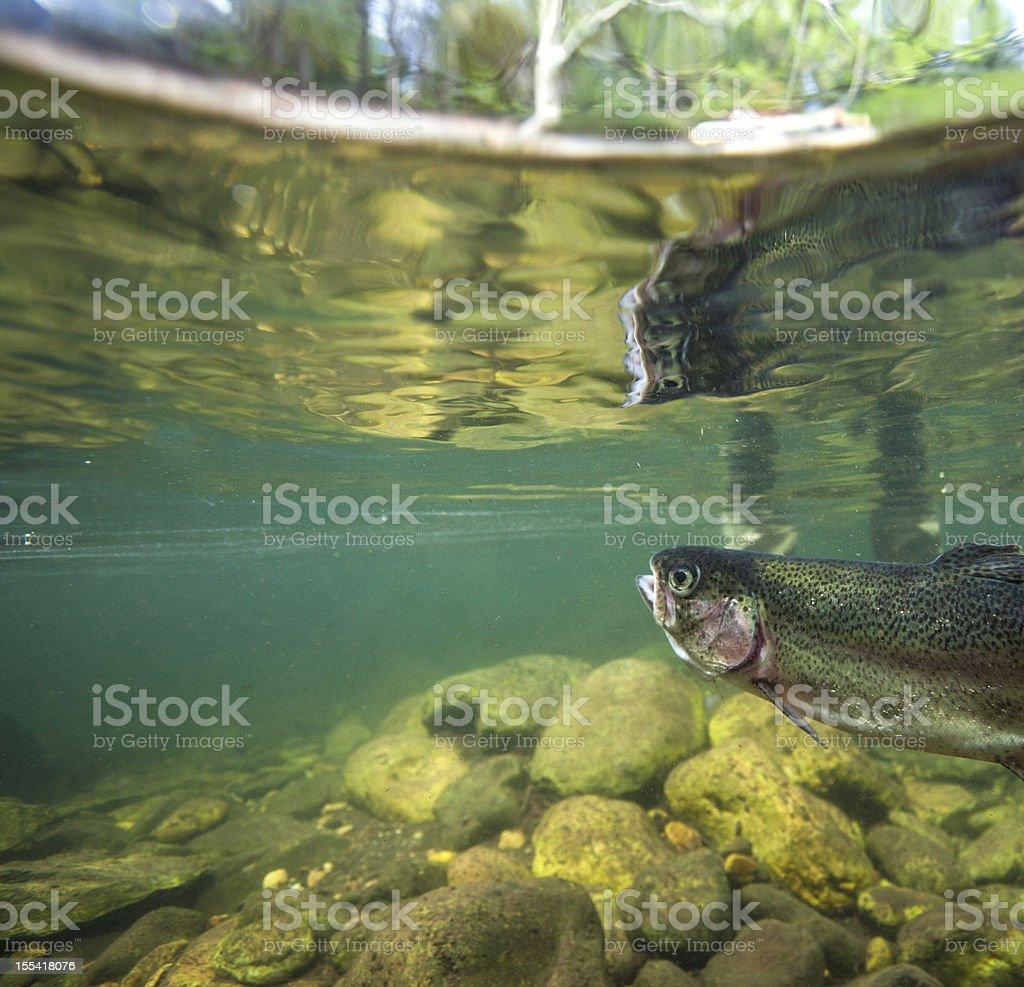 Rainbow Trout Underwater stock photo
