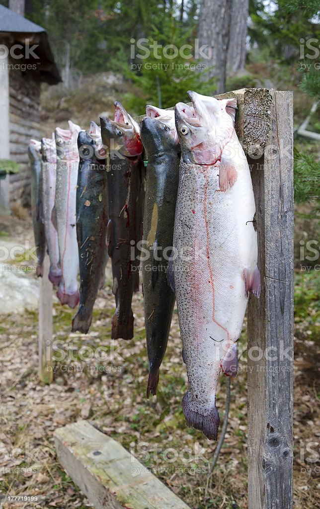 Rainbow trouts fishing trophy royalty-free stock photo